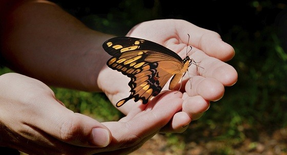 A giant swallowtail butterfly in a man's hands.